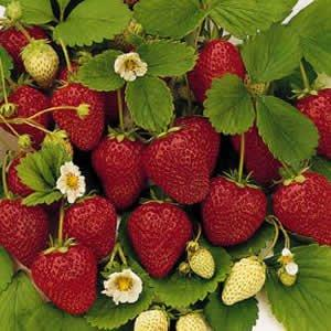 American Canyon Strawberries Patch